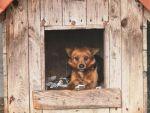 Psy do adopcji